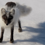 A curious Arctic Fox in the midst of changing over from his/her white winter coat to a darker summer version.
